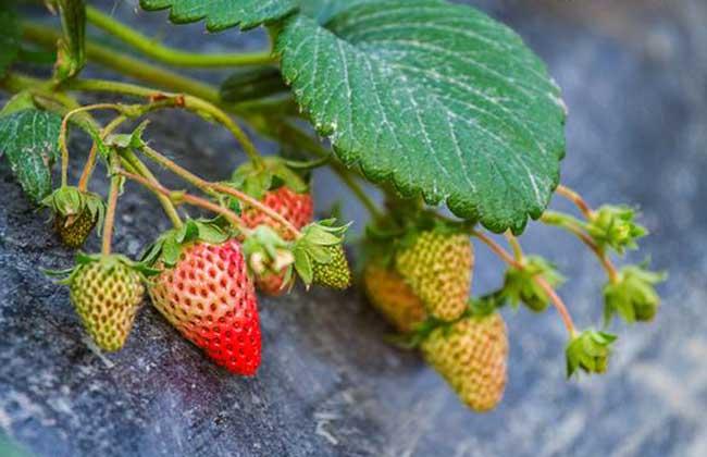 草莓种子的种植方法