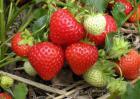 种草莓用什么肥料好?
