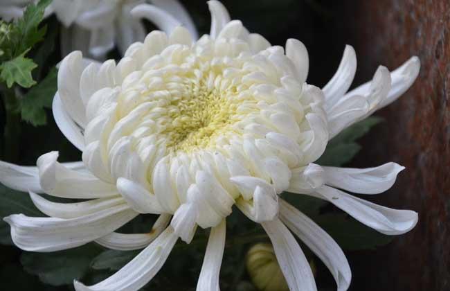 菊花什么时候开花?