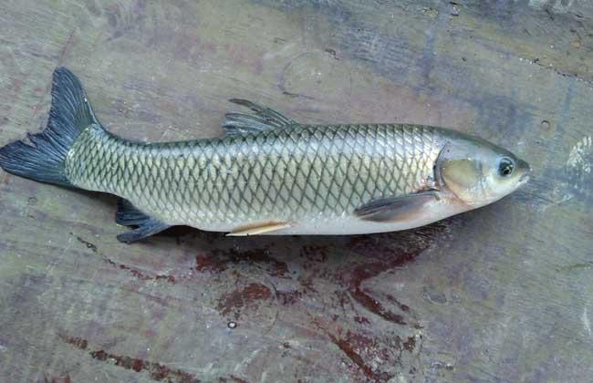 草鱼价格多少钱一斤?