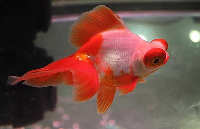 金鱼大肚子怎么回事