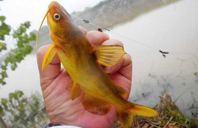 钓黄颡鱼用什么打窝