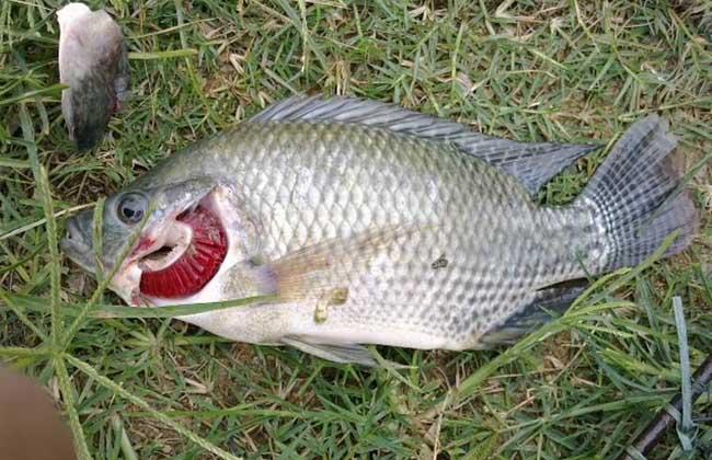 钓罗非鱼用什么小药