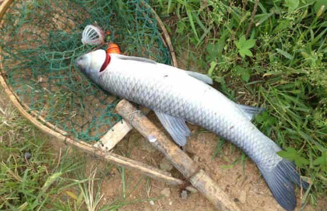 钓青鱼用什么饵料