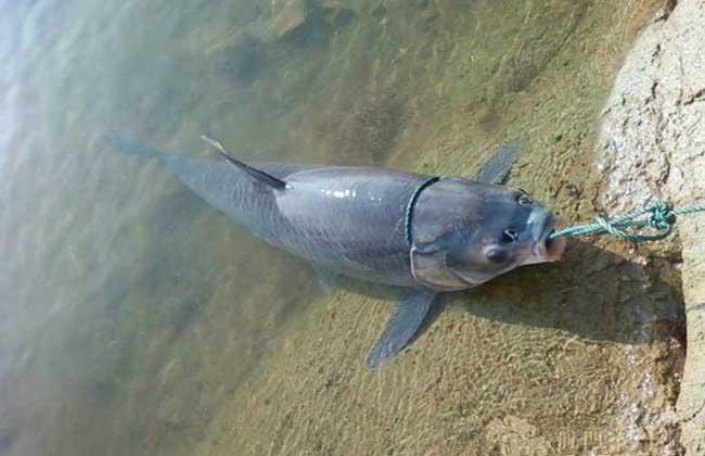 钓青鱼用什么小药
