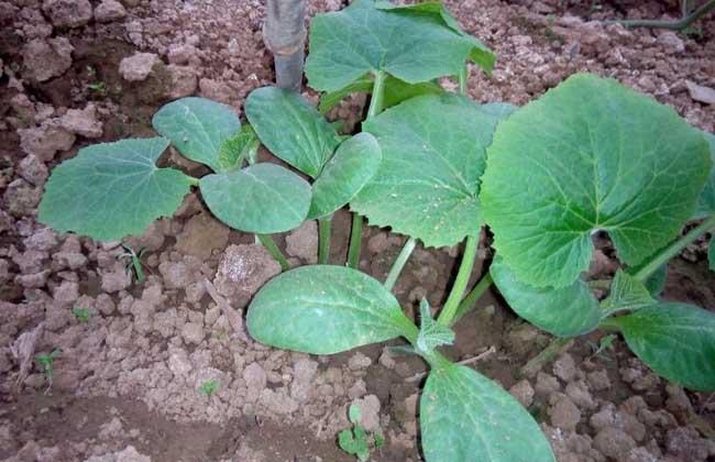 冬瓜种子怎么种植
