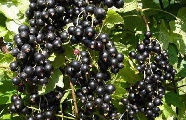 黑加伦与黑葡萄的区别
