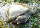 仿野生甲鱼养殖技术