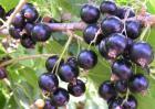 黑加仑和蓝莓的区别