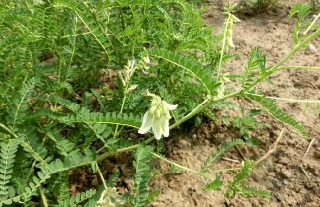 黄芪种子多少钱一斤