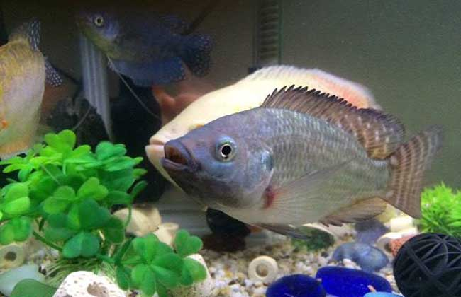 罗非鱼是不是很脏