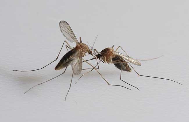 蚊子是怎么产生的
