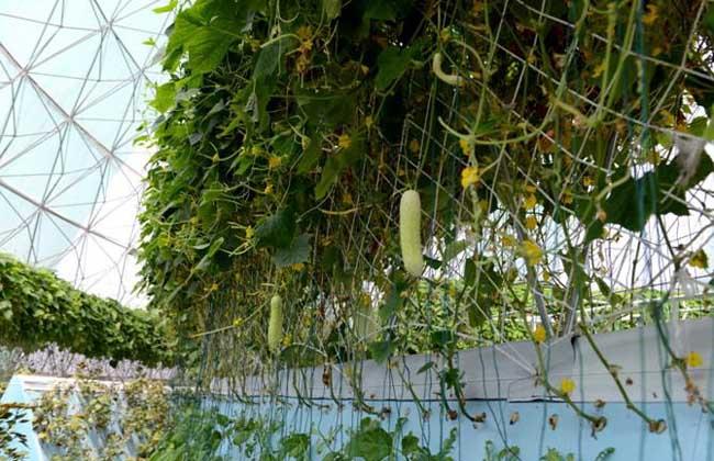 无土栽培蔬菜安全吗