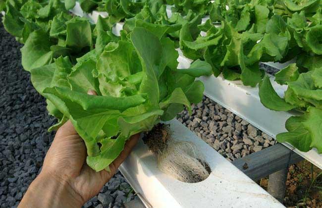水培蔬菜怎么种植?