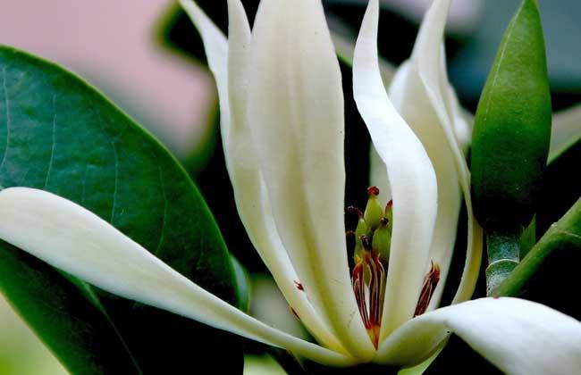白兰花种子价格