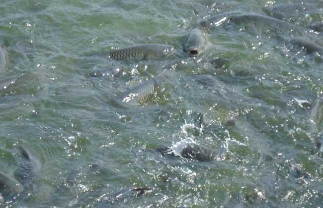白鲢鱼养殖技术