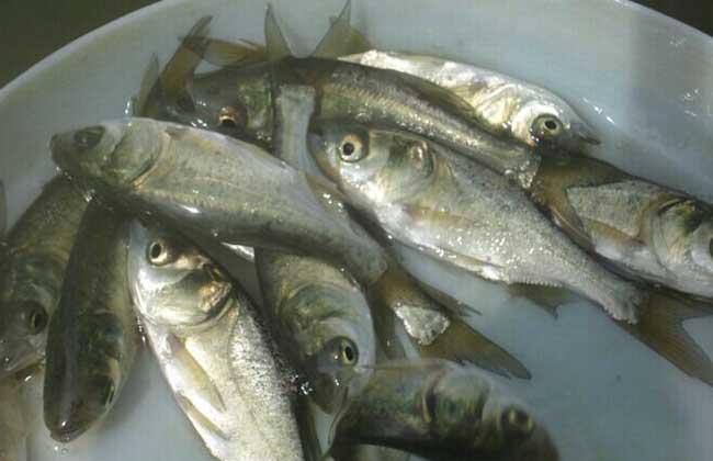 鲢鱼鱼苗价格及养殖方法