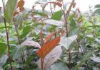 海棠幼苗价格及种植方法