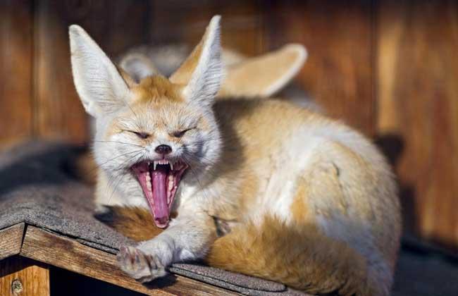 宠物狐狸多少钱一只?