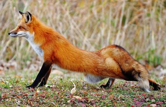 宠物狐狸怎么养才好?
