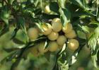 李子苗价格及种植方法