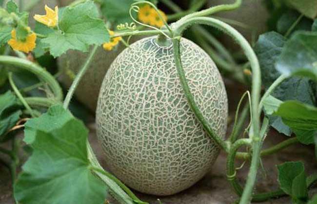 吃哈密瓜有什么好处?