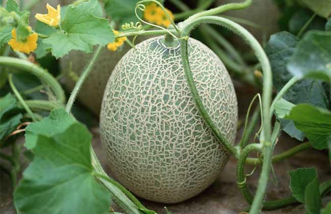 哈密瓜什么季节成熟?