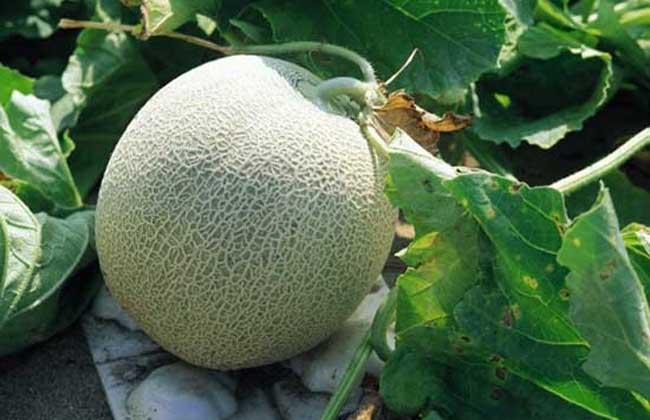 哈密瓜什么季节成熟