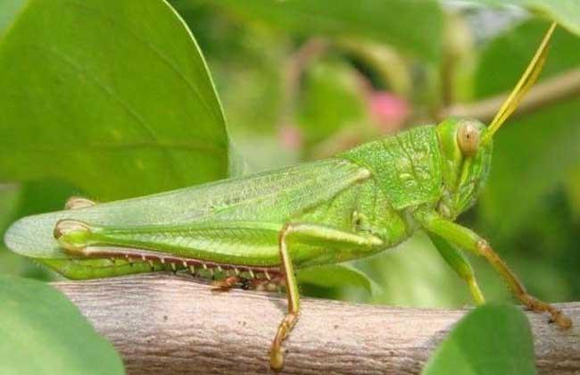 蝗虫是益虫还是害虫