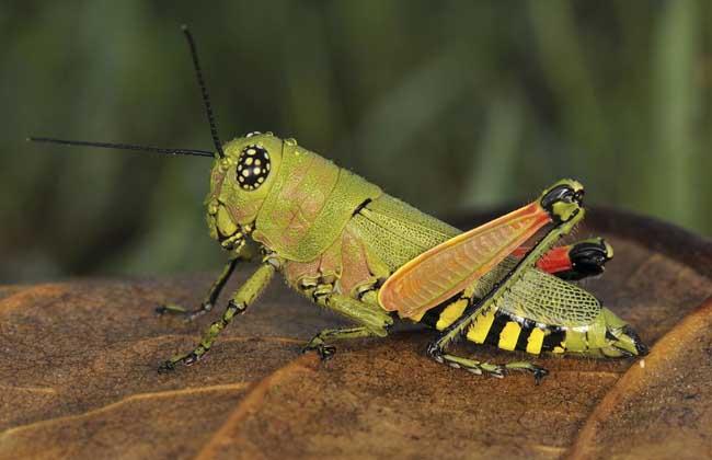 蝈蝈、蛐蛐、蚂蚱、蚱蜢、蝗虫的区别