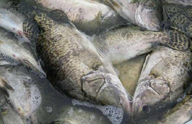 桂鱼是淡水鱼还是海鱼