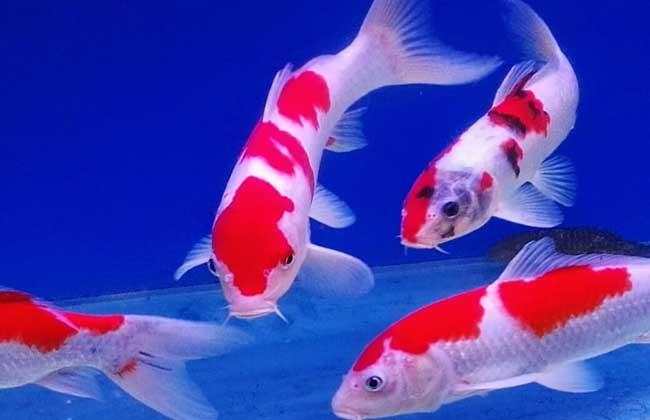 锦鲤鱼价格多少钱一条?