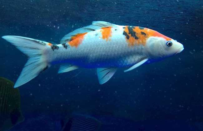 锦鲤鱼怎么养长得快?