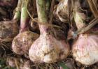 大蒜种子价格及种植方法