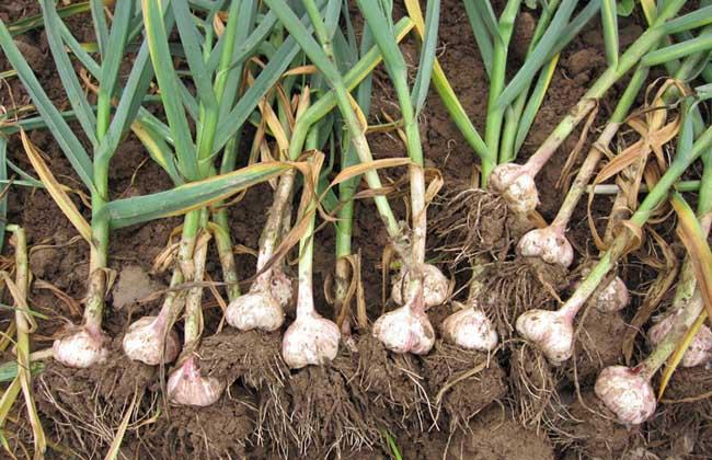 大蒜专用肥怎么配置?