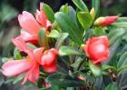 四季茶花的养殖方法和注意事项