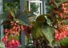 竹节海棠价格及种植方法