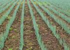 大葱种子价格及种植方法