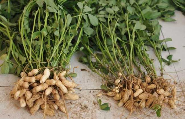 种植花生用什么肥料好?