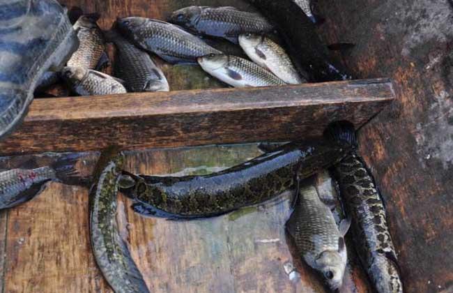 野生黑鱼多少钱一斤?