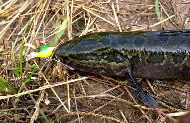 钓黑鱼用什么鱼竿
