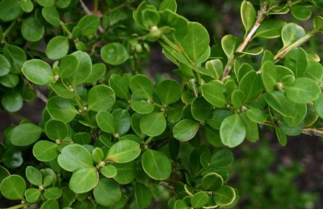 小叶黄杨价格及种植方法