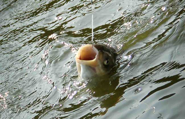 钓鲢鳙饵料配方