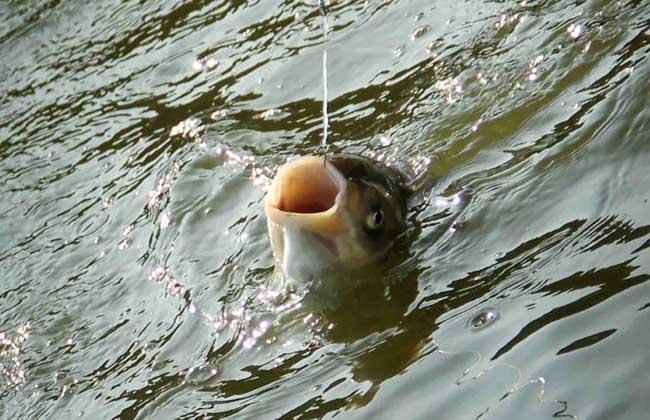 钓鲢鳙饵料配方及钓法