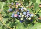蓝莓泡酒的功效与作用