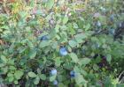 野生蓝莓和种植蓝莓的区别
