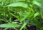 空心菜种子价格及种植方法
