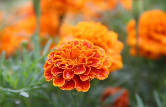 万寿菊价格及种植方法