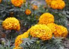 万寿菊种子价格及种植方法