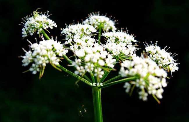 白芷种子价格及种植方法